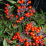 Nandina domestica 'Moyers Red'.png